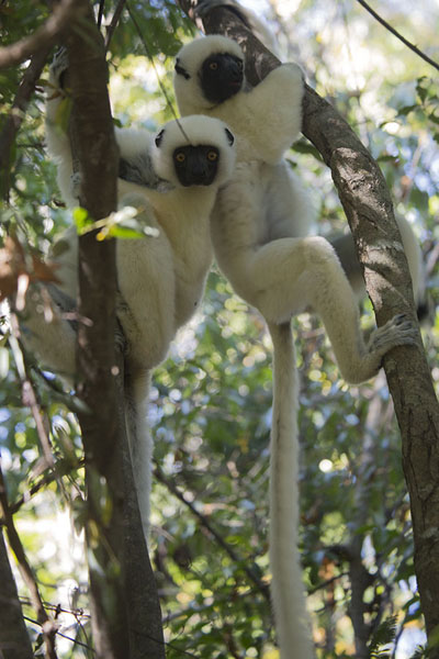 Foto de Pair of Decken's sifakas in the forest of the Tsingy de Bemaraha - Madagascar - Africa