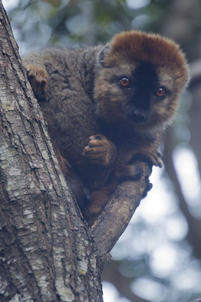 Photo de Redfronted brown lemur looking at visitors of Namaza camp in Isalo National Park - Madagascar - Afrique