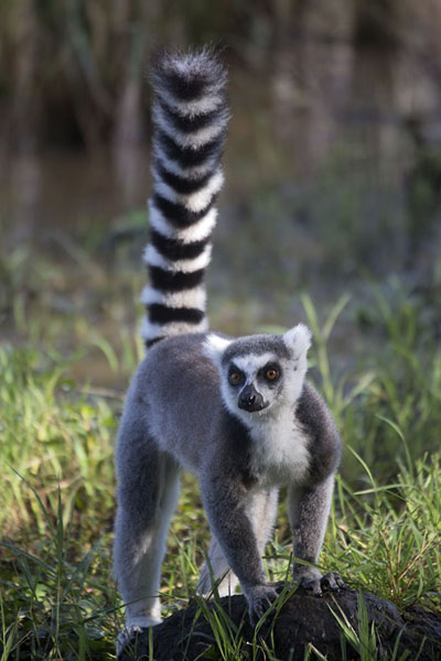 Picture of Lemur catta, or ringtailed lemur, in the reserve of AnjaLemurs - Madagascar