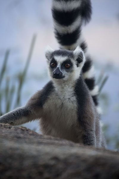 Picture of Ringtailed lemur near the lake of AnjaLemurs - Madagascar