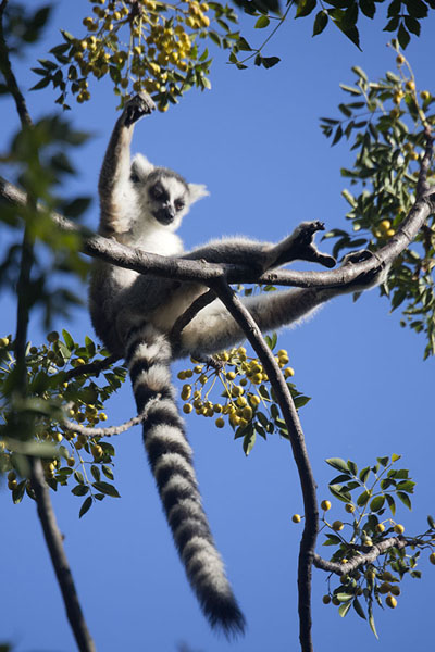 Foto de Lemur catta, or ringtailed lemur, sitting in the morning sun in a tree in the reserve of Anja - Madagascar - Africa