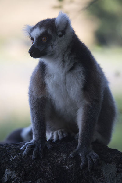 Picture of Lemur catta, or ringtailed lemur, in the reserve of Anja - Madagascar - Africa