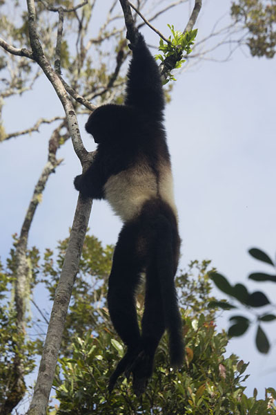 Milne-Edward sifaka hanging in a tree in Ranomafana National Park | Lemurs | 马达加斯加到