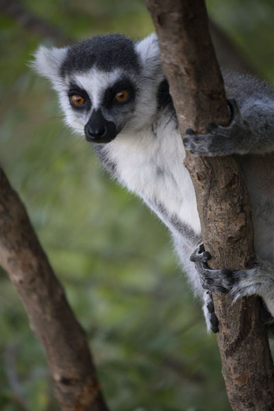 Photo de Ringtailed lemur in a tree at AnjaLémuriens - Madagascar