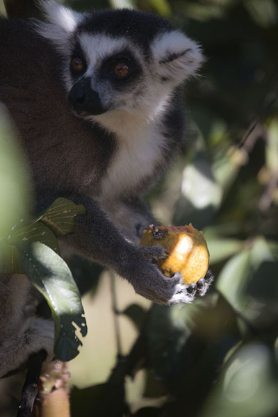 Photo de Ringtailed lemur eating a guava in the reserve at AnjaLémuriens - Madagascar