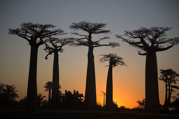 Picture of Madagascar baobabs (Madagascar): Silhouettes of elegant baobabs at the Alley of Baobabs near Morondava