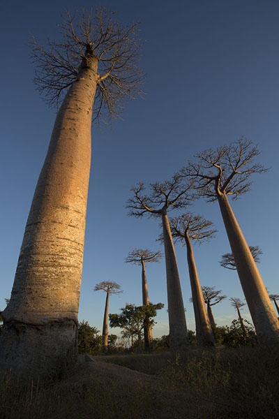 Looking up the tallest of all baobabs, the Andansonia Grandidieri | Madagascar baobabs | Madagascar