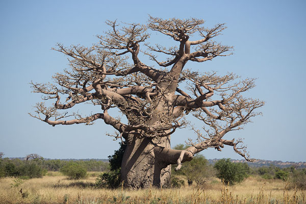 Picture of Madagascar baobabs (Madagascar): Big old baobab, east of Morombé