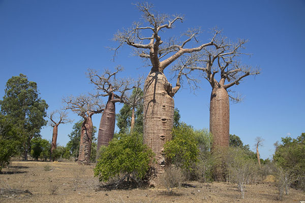 Group of bottle baobabs near Belo sur Mer | Madagascar baobabs | Madagascar