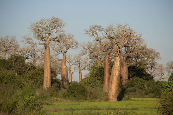 Picture of Baobabs rising from a green field