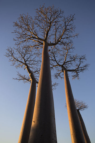 Looking up the Andansonia Grandidieri, the tallest of baobabs | Madagascar baobabs | Madagascar