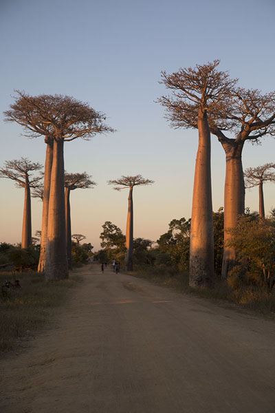 Picture of Madagascar baobabs (Madagascar): Allée des Baobabs at sunset