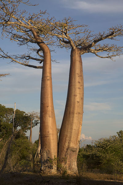 Two giant baobabs in the afternoon | Madagascar baobabs | Madagascar