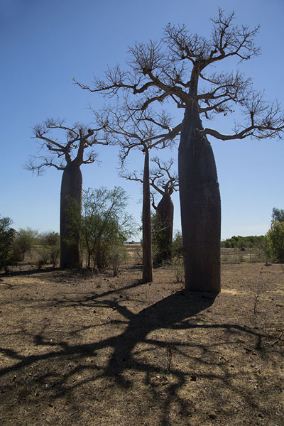 Picture of Madagascar baobabs (Madagascar): Shadow of baobabs falling on the ground