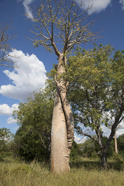 Picture of Madagascar baobabs (Madagascar): Lone baobab with trees