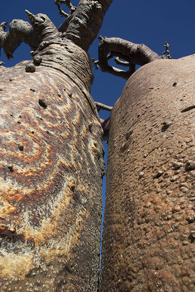 Picture of Madagascar baobabs (Madagascar): Looking up two baobabs, one with natural design on its bark
