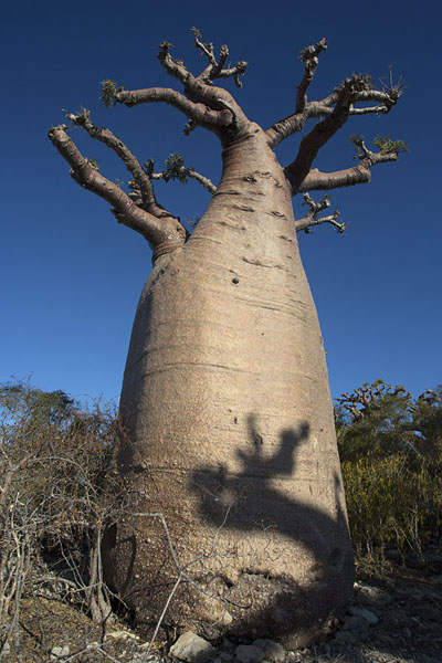 Looking up a baobab tree with the shadow of another one | Madagascar baobabs | Madagascar