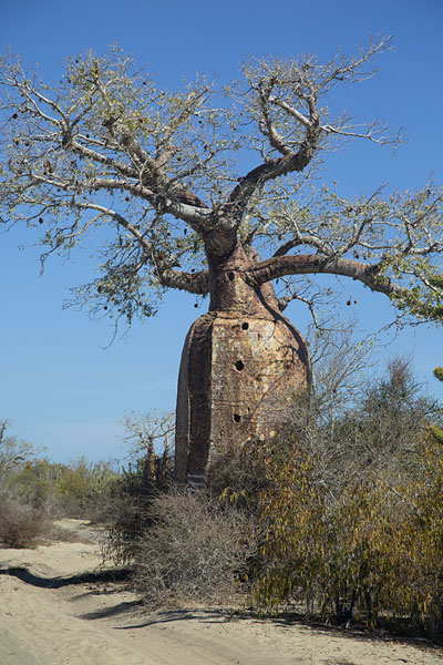 Picture of Madagascar baobabs (Madagascar): Big bottle baobab at the roadside near Salary