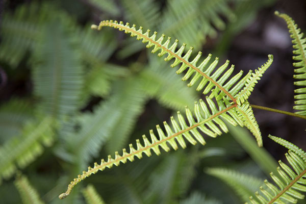 Picture of Ranomafana National Park (Madagascar): Delicate leaves in the rainforest