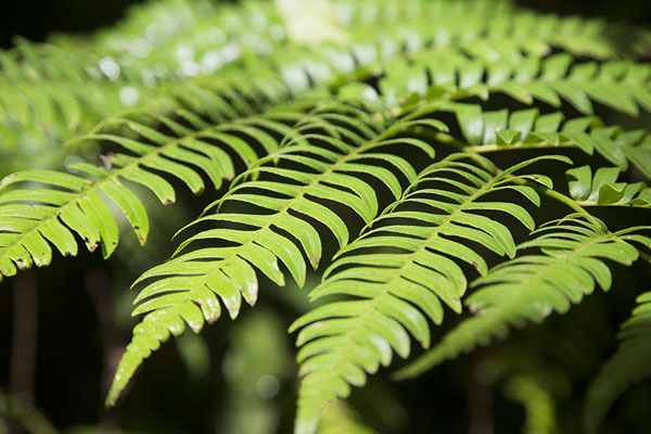 Picture of Ranomafana National Park (Madagascar): Fern with bright green leaves in the rainforest