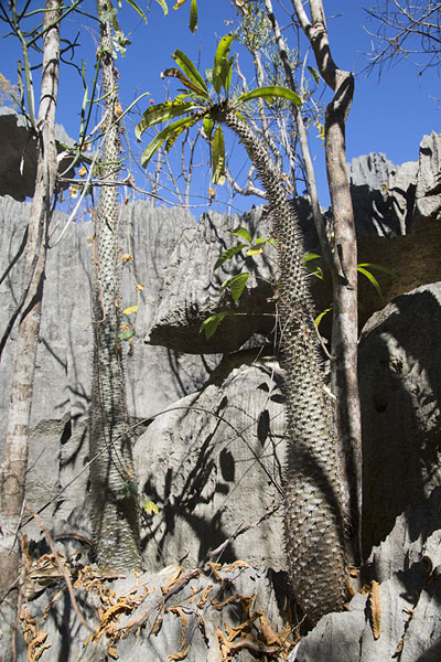 Picture of Tsingy Bemaraha (Madagascar): Endemic tree flourishing on the limestone rocks