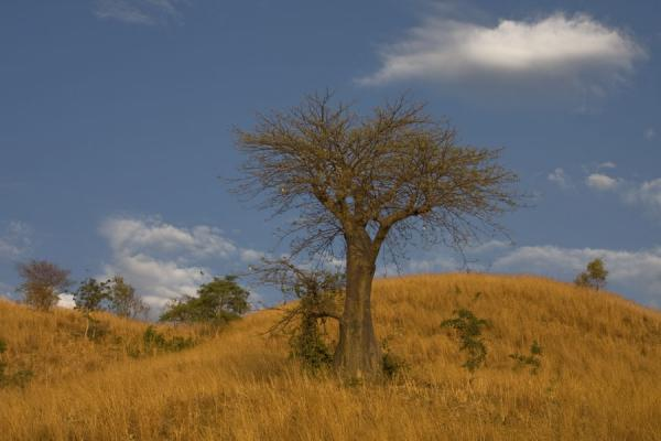 Picture of Baobab trees on hills on Likoma Island