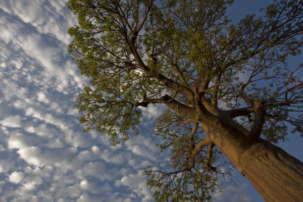Picture of Baobab tree with clouds
