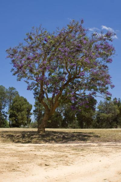 Picture of Livingstonia (Malawi): Jacaranda tree in bloom in Livingstonia