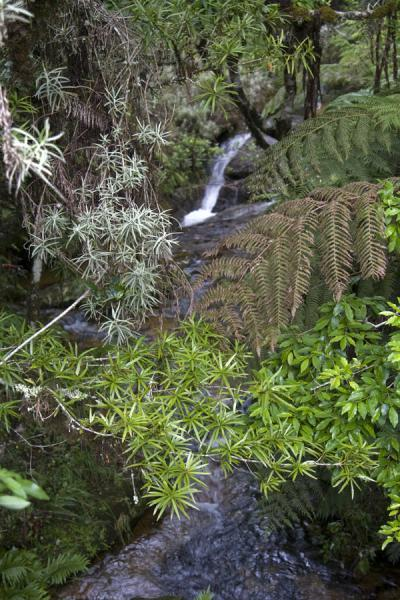 Picture of Mount Mulanje (Malawi): Stream and lush vegetation on Mount Mulanje