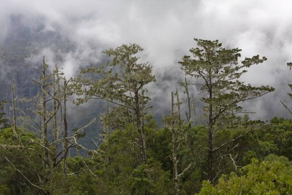 Picture of Mount Mulanje (Malawi): Trees surrounded by clouds on Mount Mulanje
