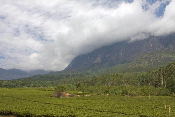 Foto van Tea plantations near Mulanje with the Mulanje Massif behind them - Malawi - Afrika