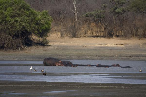 Foto de Pod of hippos in a water of the Vwaza Marsh Game Reserve - Malawi - Africa