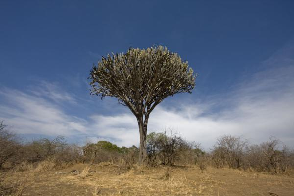 Cactus towering above the landscape of Vwaza Marsh Game Reserve | Vwaza Marsh Game Reserve | Malawi