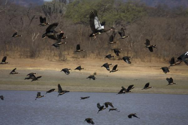 Flock of birds flying over the lake in Vwaza Marsh Game Reserve | Vwaza Marsh Game Reserve | Malawi