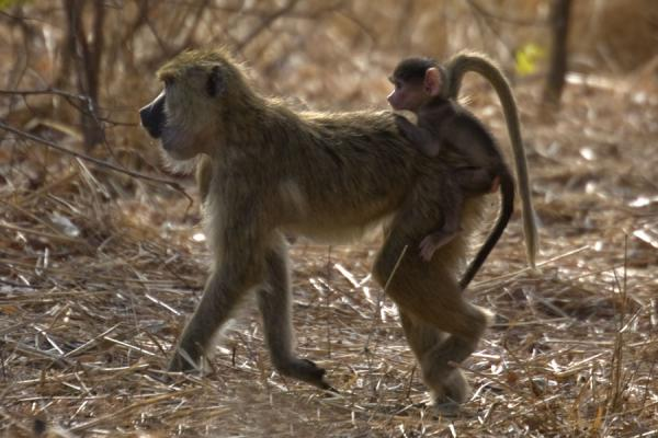 Picture of Vwaza Marsh Game Reserve (Malawi): Clinging to the back of his mother: baby monkey