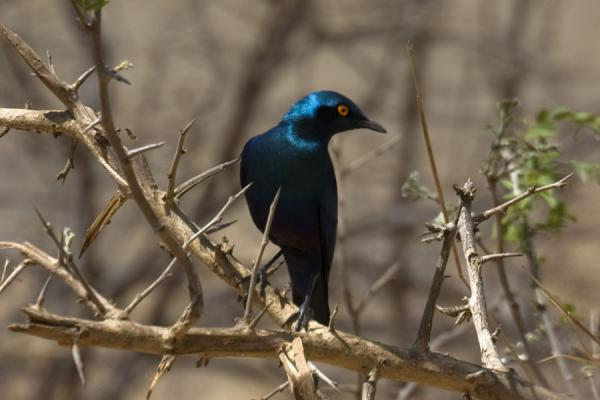 Beautiful blue bird in Vwaza Marsh Game Reserve | Vwaza Marsh Game Reserve | Malawi