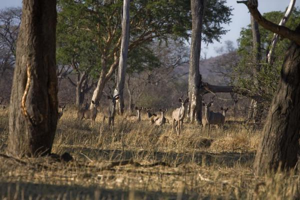 Picture of Game in the Vwaza Reserve: a herd of kudus