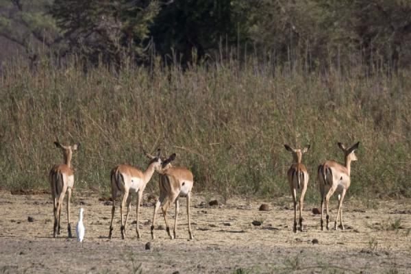 Impalas walking the Vwaza Marsh Game Reserve | Vwaza Marsh Game Reserve | Malawi