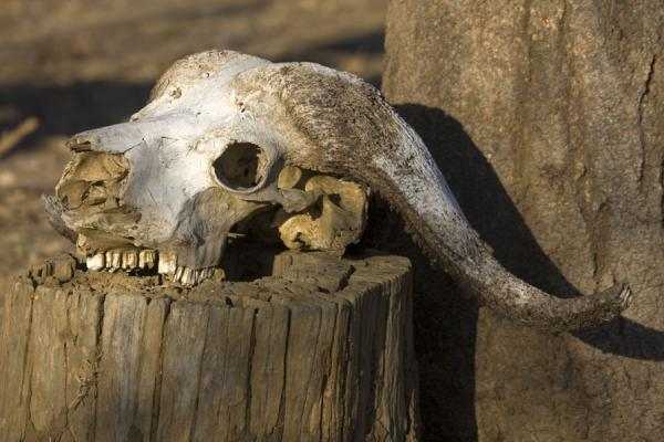 Skull of buffalo | Vwaza Marsh Game Reserve | Malawi