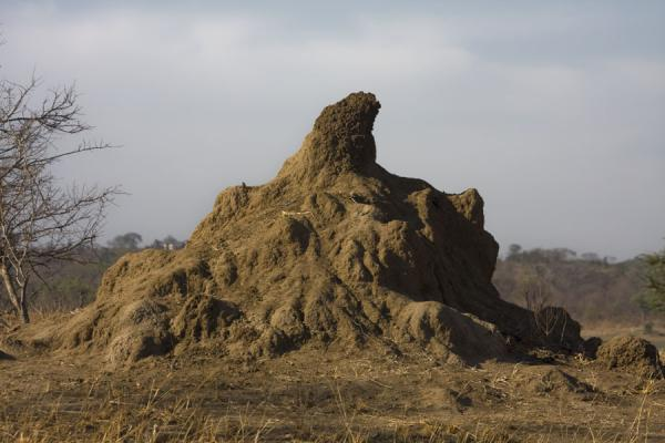 Picture of Vwaza Marsh Game Reserve (Malawi): Live termite hill in Vwaza Marsh Game Reserve