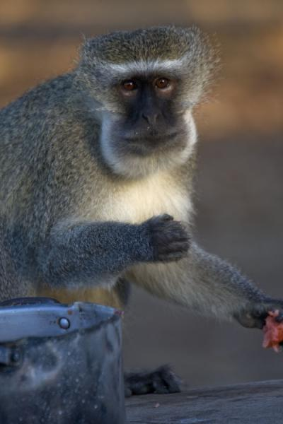 Picture of Vwaza Marsh Game Reserve (Malawi): Cheeky monkey having a good time with the leftovers found in a pan