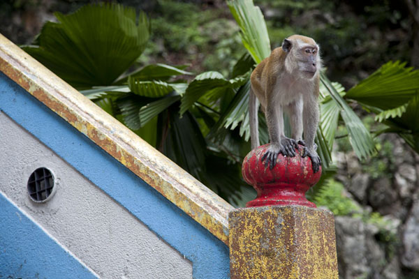 One of the many macaque monkeys on the staircase to the caves | Batugrotten | Maleisië