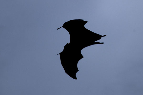 Foto de Bat flying through the sky in the early eveningViligili - Maldivas