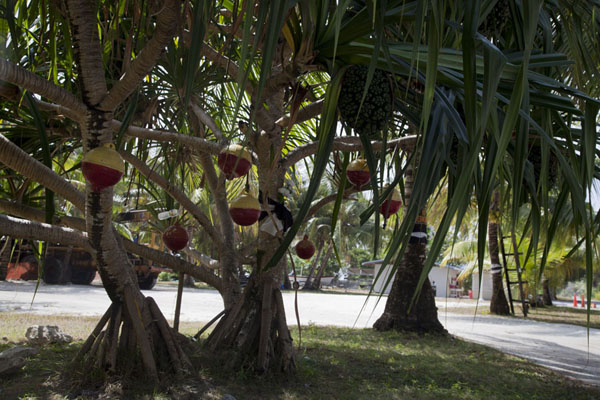 Picture of Laura (Marshall Islands): Tree with fishing nets and lamps