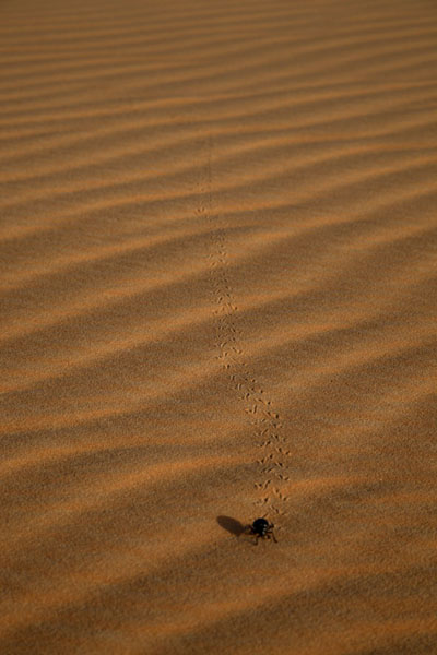 Foto di Beetle walking over a sand duneAdrar - Mauritania