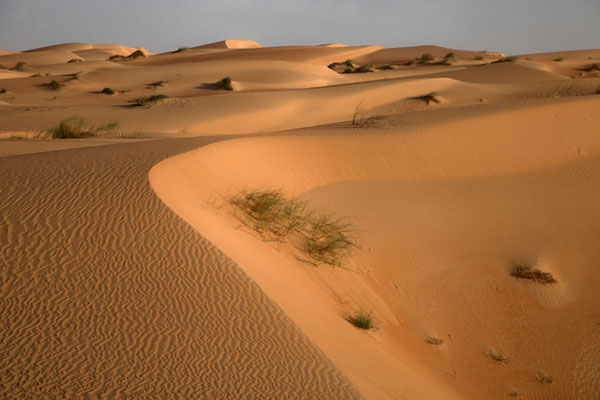 Late afternoon light colouring the sand dunes orange | Caminata camello Adrar Sahara | Mauritania