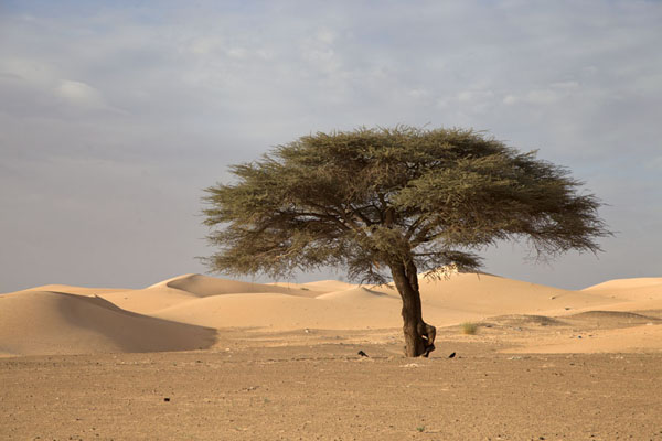 Foto van Tree and sand dunes in the Sahara desertAdrar - Mauritanië
