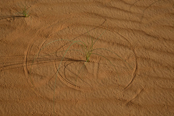 Foto van The wind makes this desert grass draw circles in the sand of the desertAdrar - Mauritanië