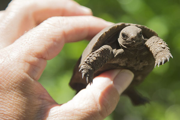 Foto van Newly born (one day old) giant tortoise between my fingersIle aux Aigrettes - Mauritius