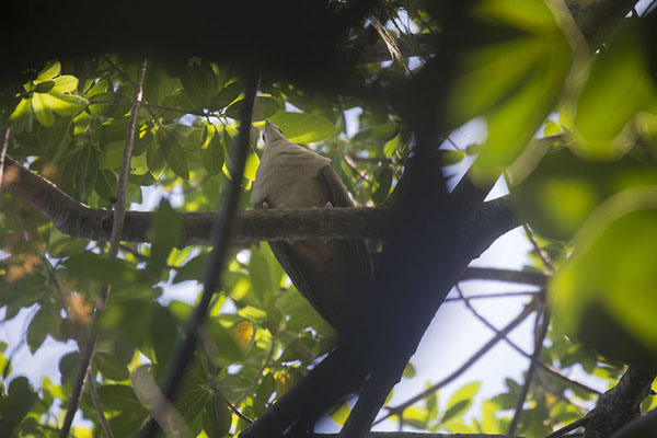 Picture of Pink pigeon in a tree on Ile aux AigrettesIle aux Aigrettes - Mauritius